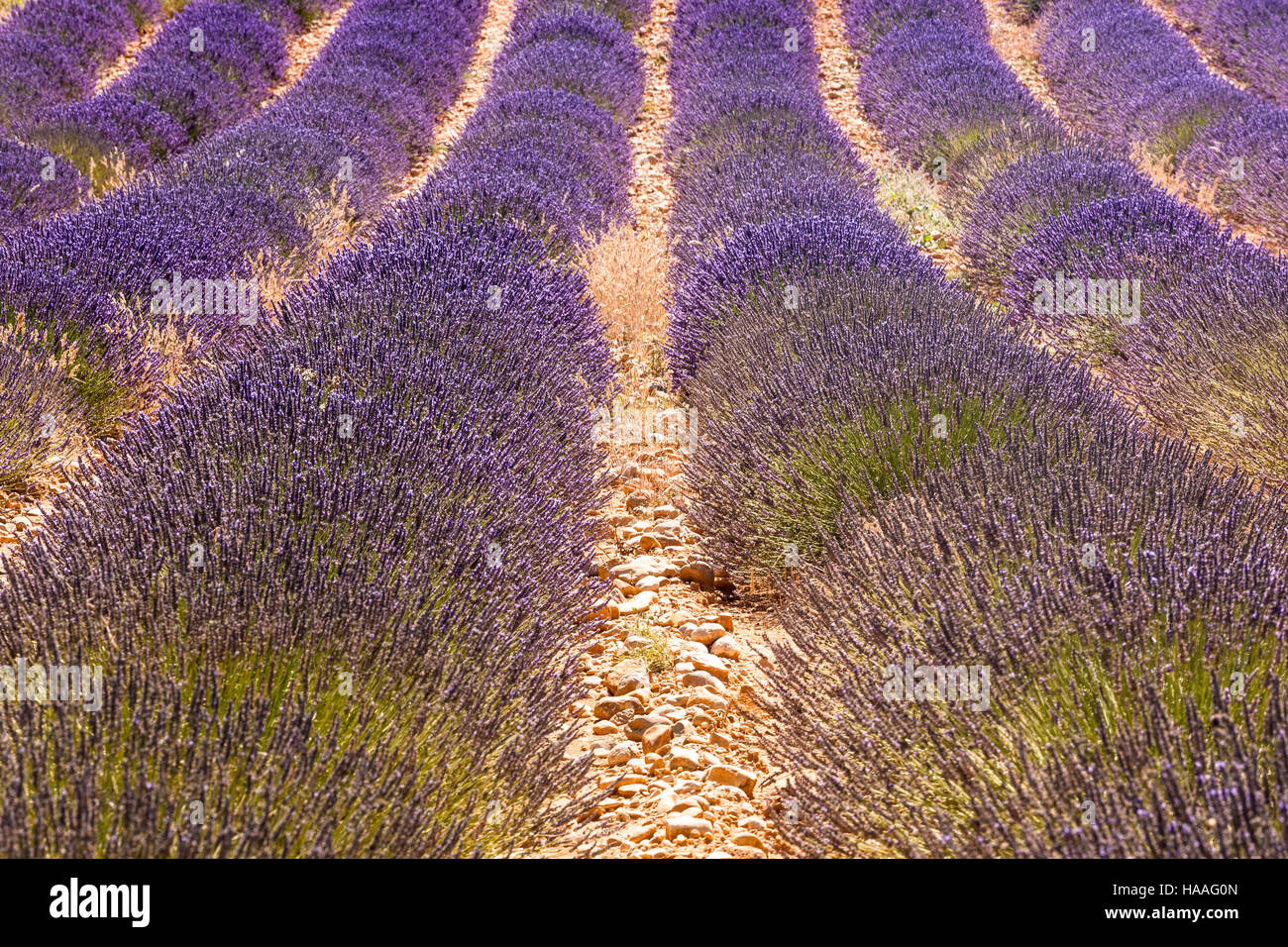 A lavender field on the plateau de Valensole in Provence. Stock Photo