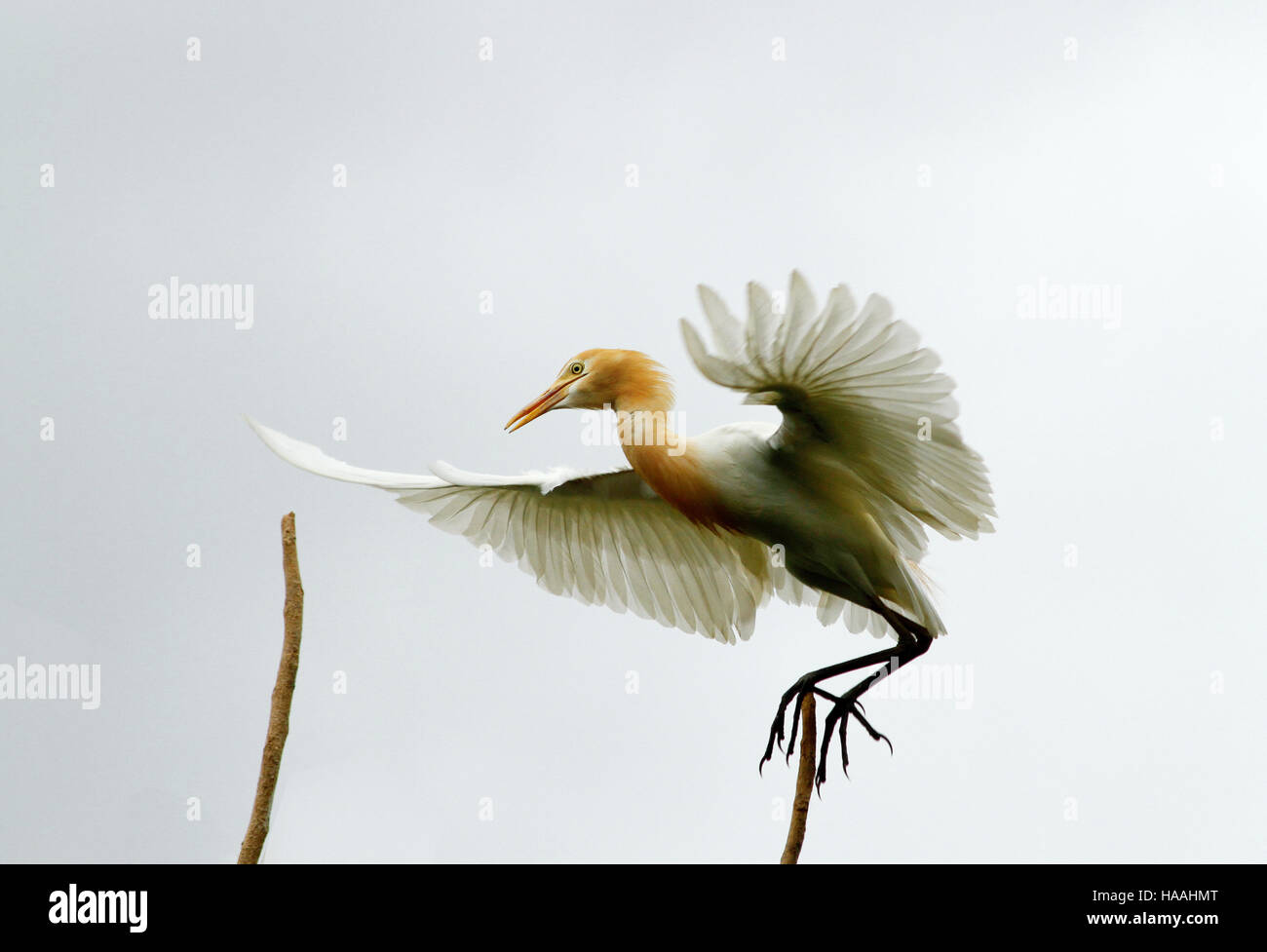 An egret caught in the moment of lift-off. Taken at Baras Bird Sanctuary, Tacurong, Sultan Kudarat province. - Stock Image