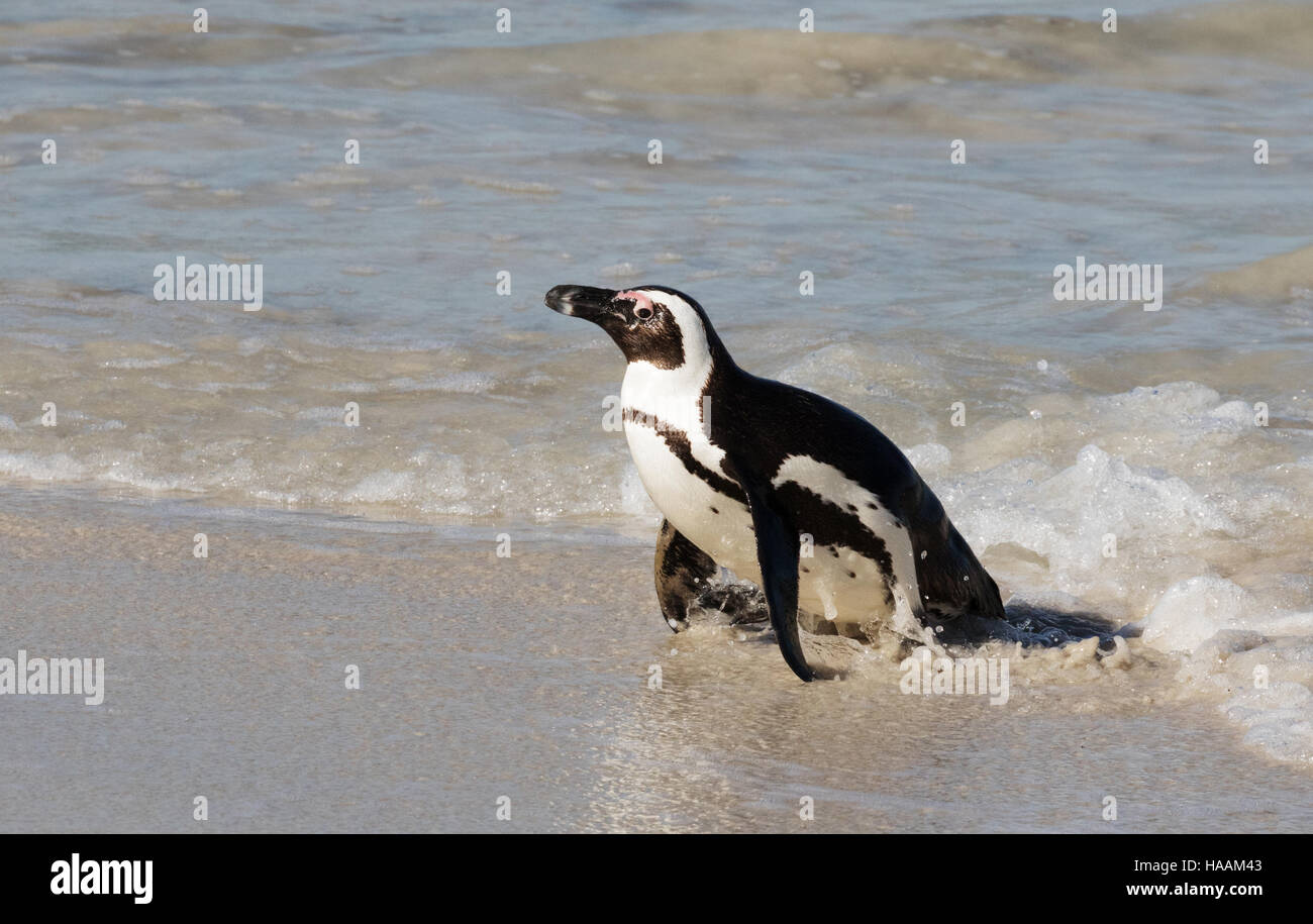 An African Penguin ( Spheniscus demersus ) emerging from the sea, Boulders Beach, Cape Town South Africa - Stock Image