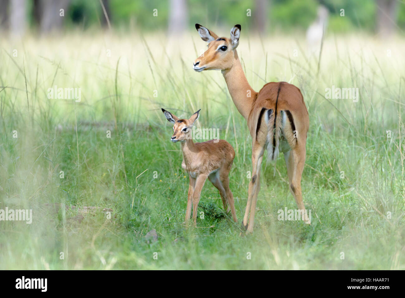 Impala (Aepyceros melampus) mother and new born infant, baby, Maasai Mara National Reserve, Kenya - Stock Image