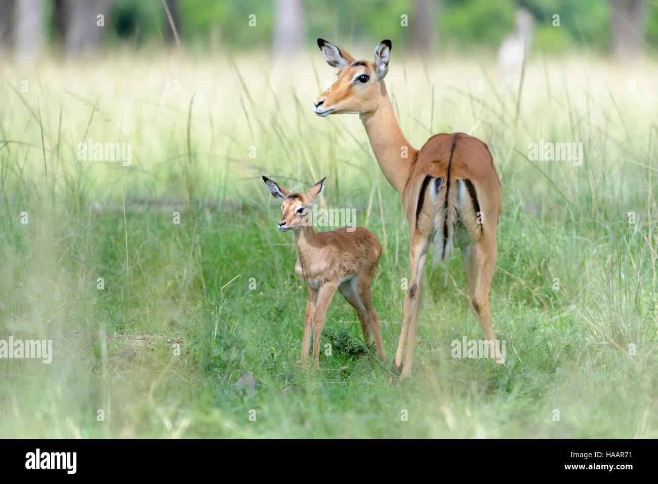 Impala (Aepyceros melampus) mother and new born infant, baby, Maasai Mara National Reserve, Kenya - Stock Image
