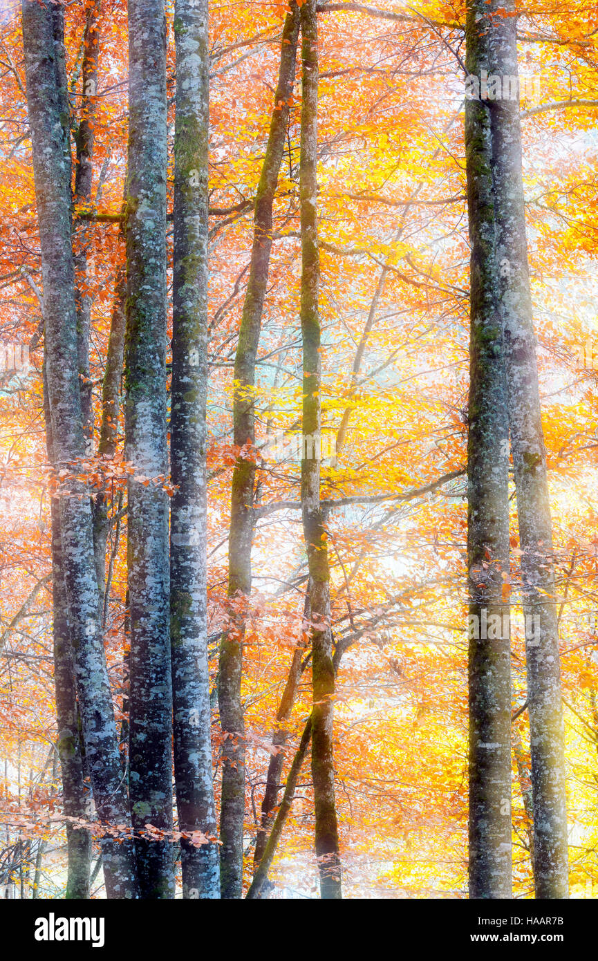 Leaves with autumn colors in forest and double exposure, French alps, Haute Savoie, France. - Stock Image