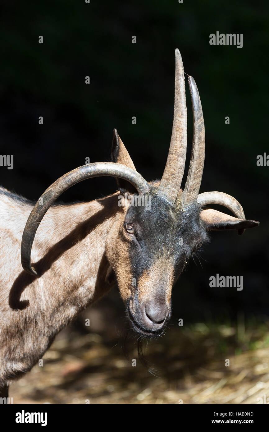 Vierhornziege, Vierhorn-Ziege, Hausziege, Ziege, Haustierrasse, Capra aegagrus hircus, domestic goat, Four Horn - Stock Image
