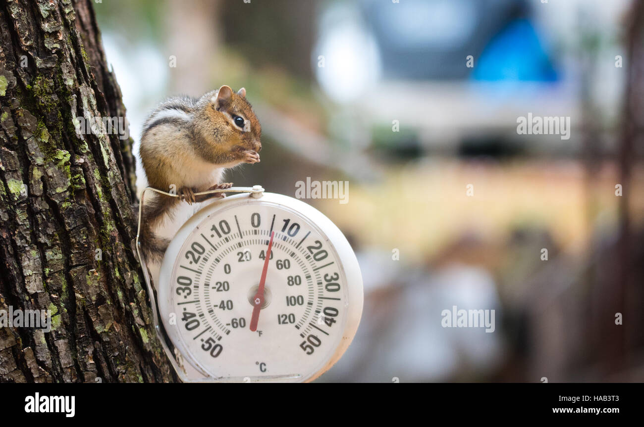 Chipmunk (Tamias), sits up, on top of an outdoor thermometer. - Stock Image