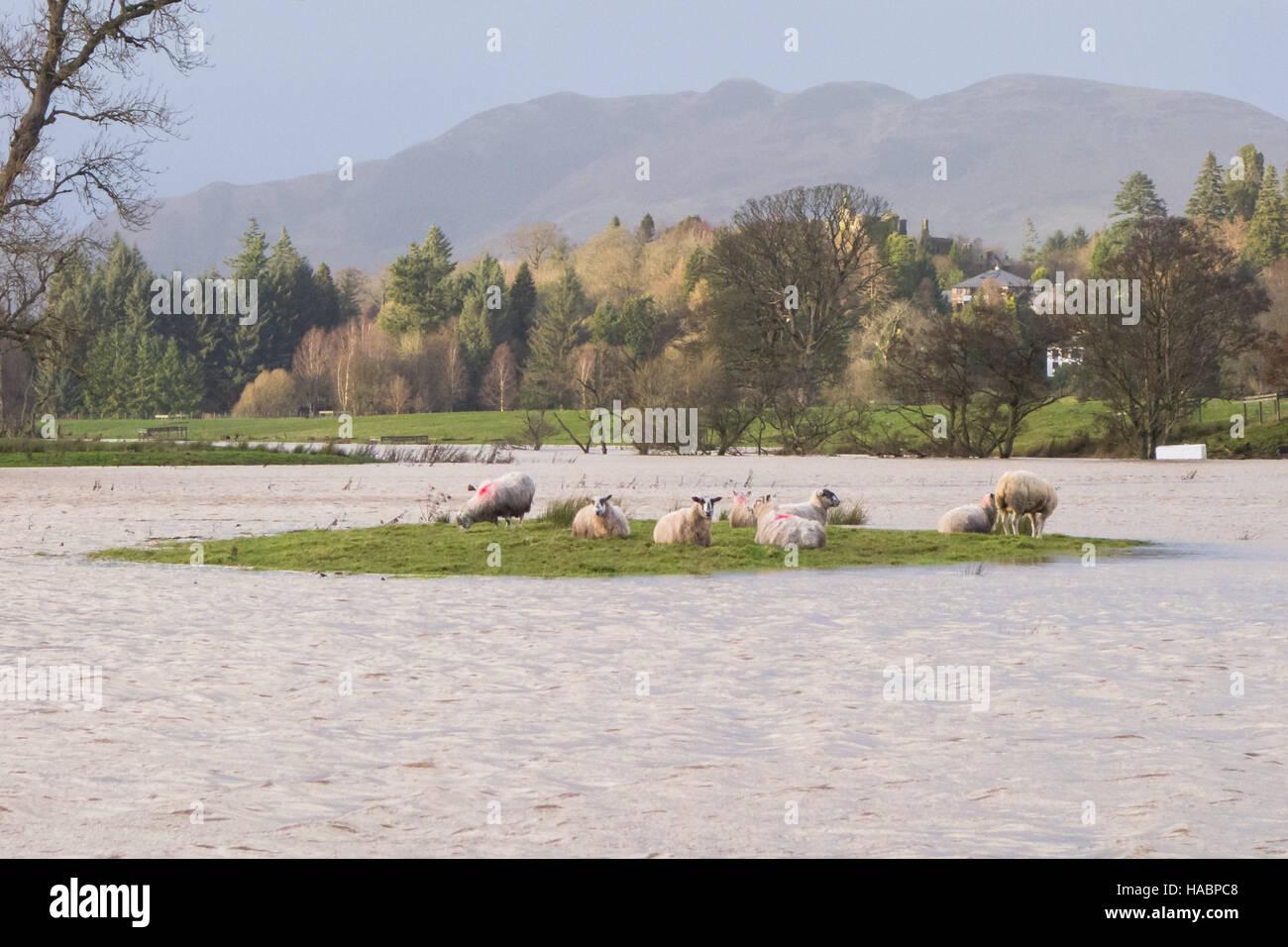 flooded fields - stranded sheep in flooded field, Drymen, Scotland, UK - Stock Image