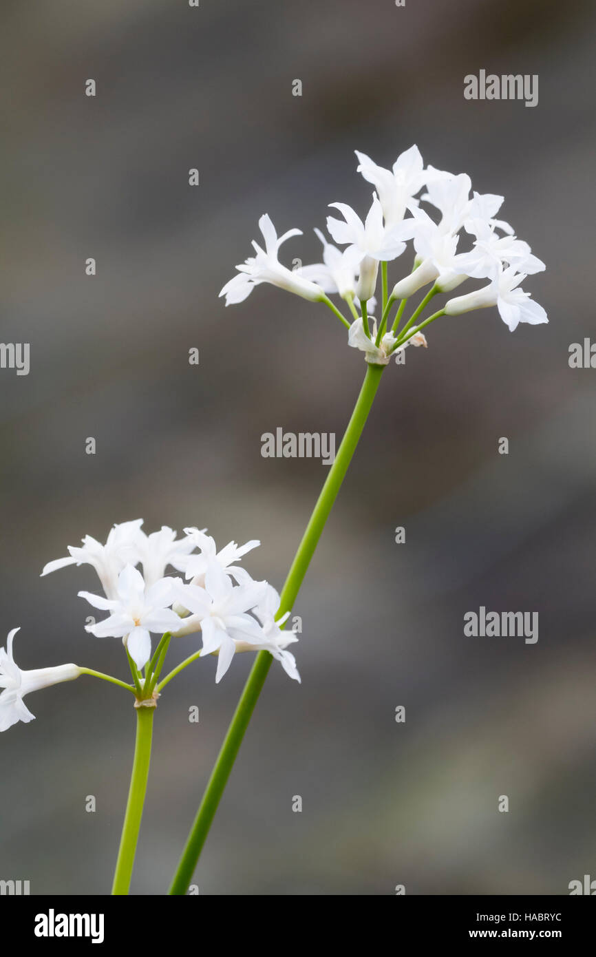 White flowers of the South African bulb, Tulbaghia violacea 'Alba' - Stock Image