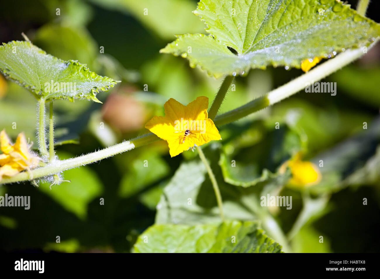 Small yellow cucumber flower on big green leaves background stock small yellow cucumber flower on big green leaves background mightylinksfo