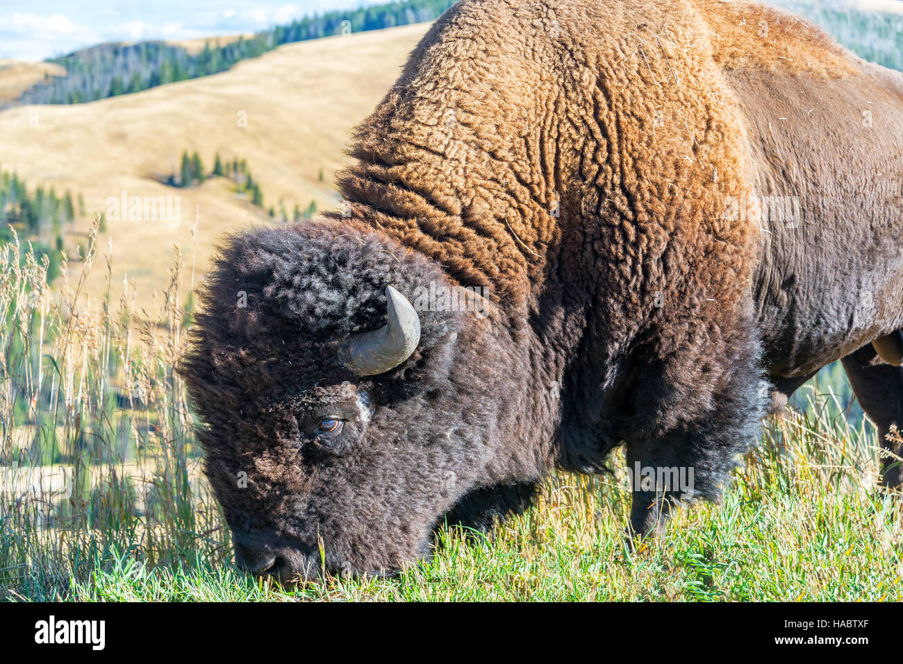 Closeup view of an American bison in Yellowstone National Park Stock Photo