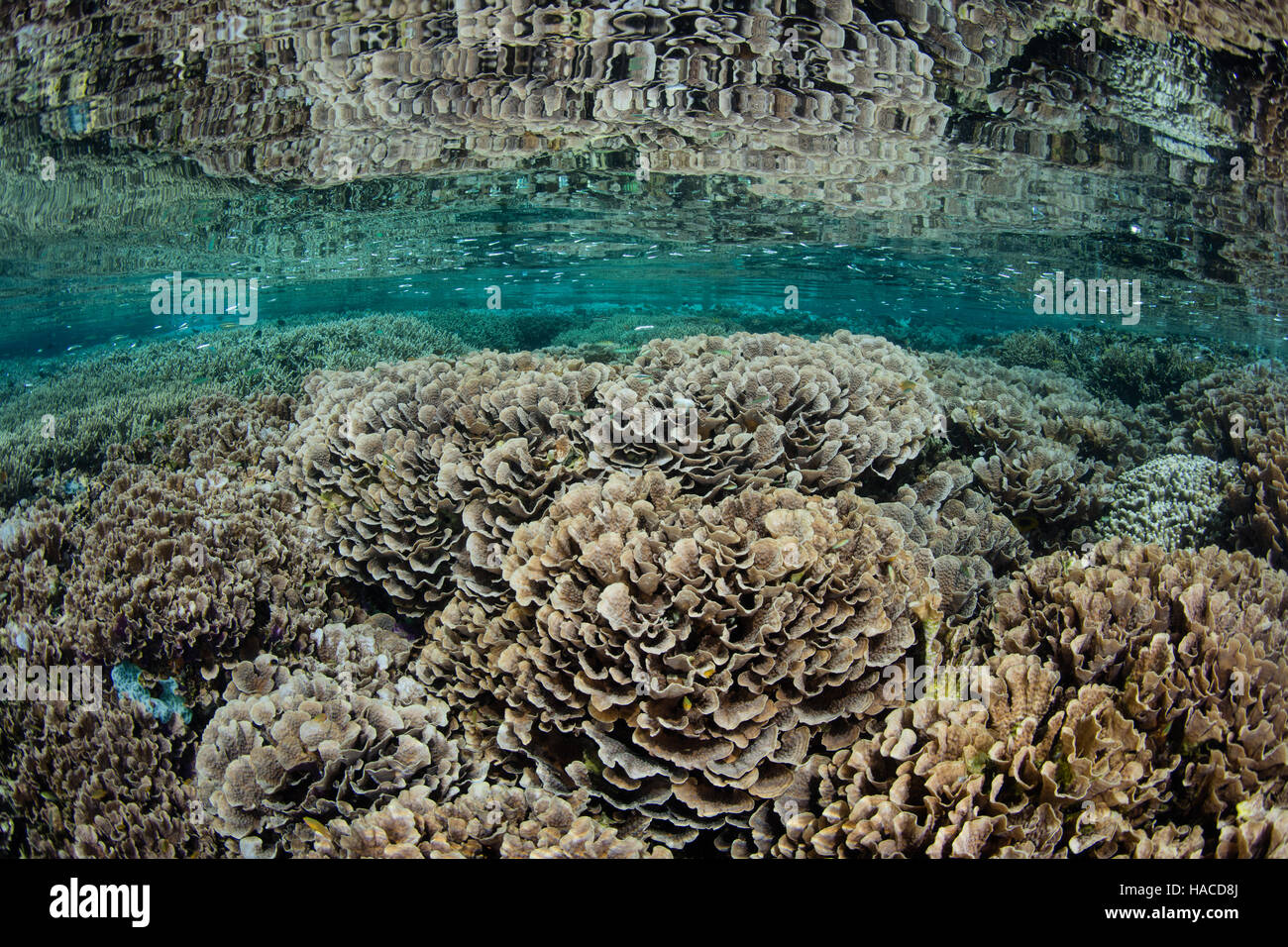 A healthy and biodiverse array of corals grows in the shallows near a small island within Komodo National Park, Stock Photo