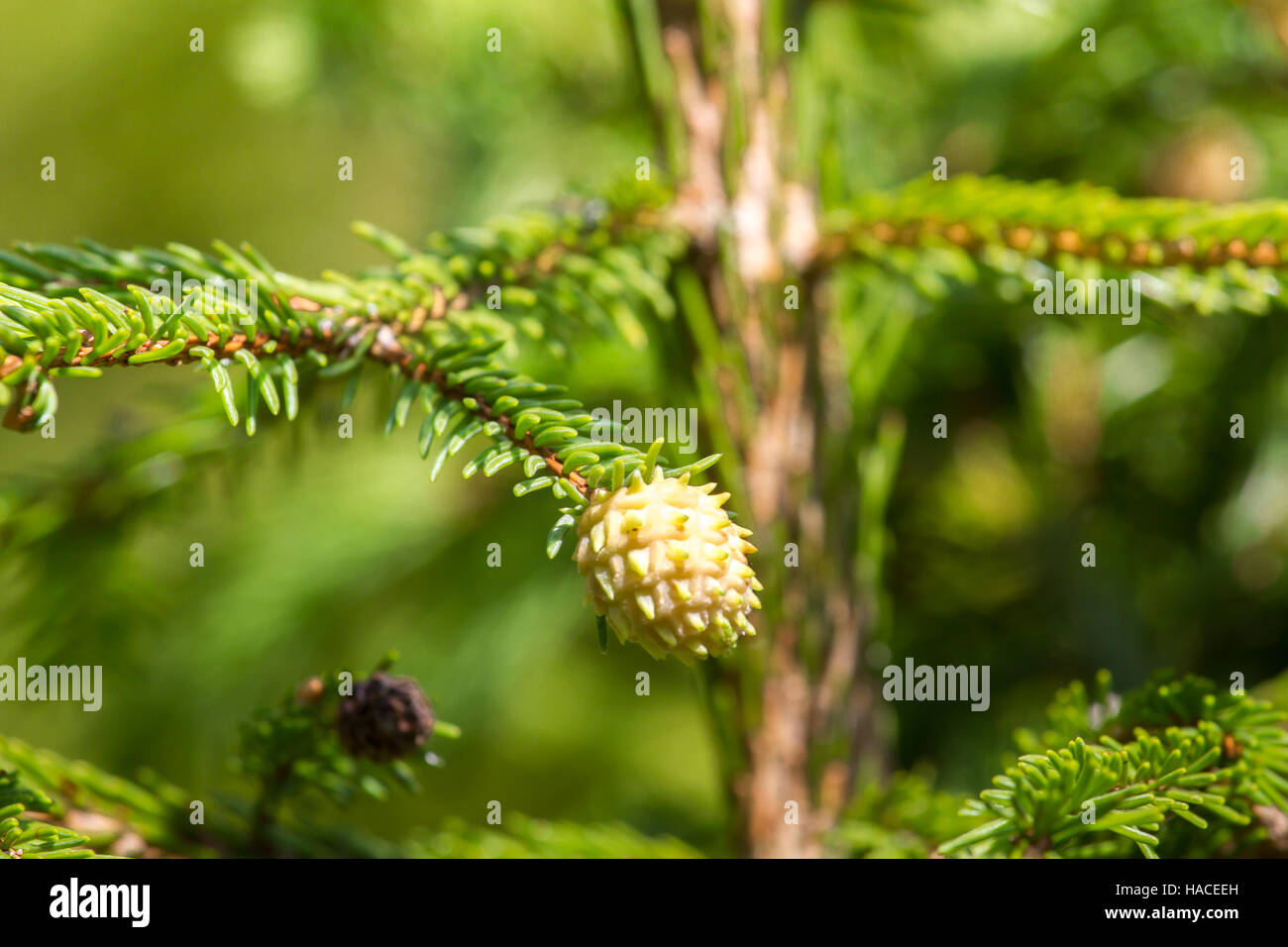 Macro photography female gametophyte at the eaten. The family of gymnosperms. Green lush branch. Fir branches. Spruce - Stock Image
