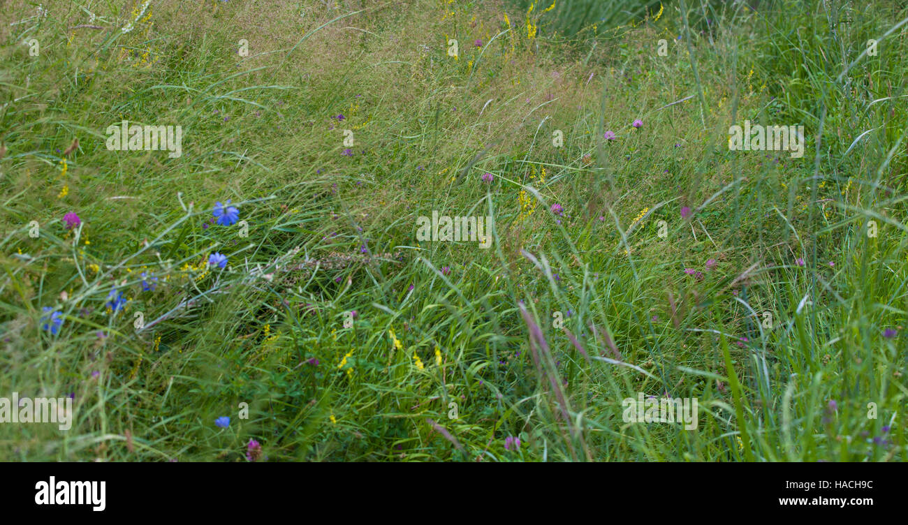simple beautiful wildflowers seen on the field of Karakoram mountains - Stock Image