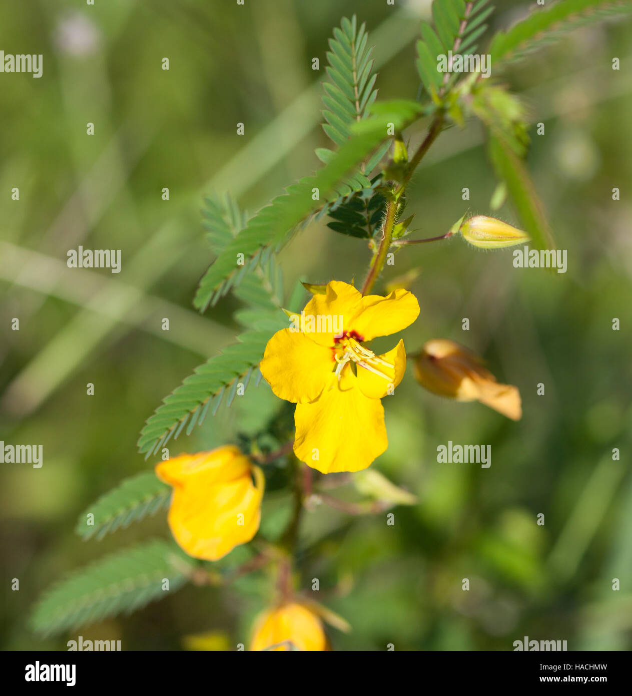 Meadow Pea Flower Stock Photos Meadow Pea Flower Stock Images Alamy