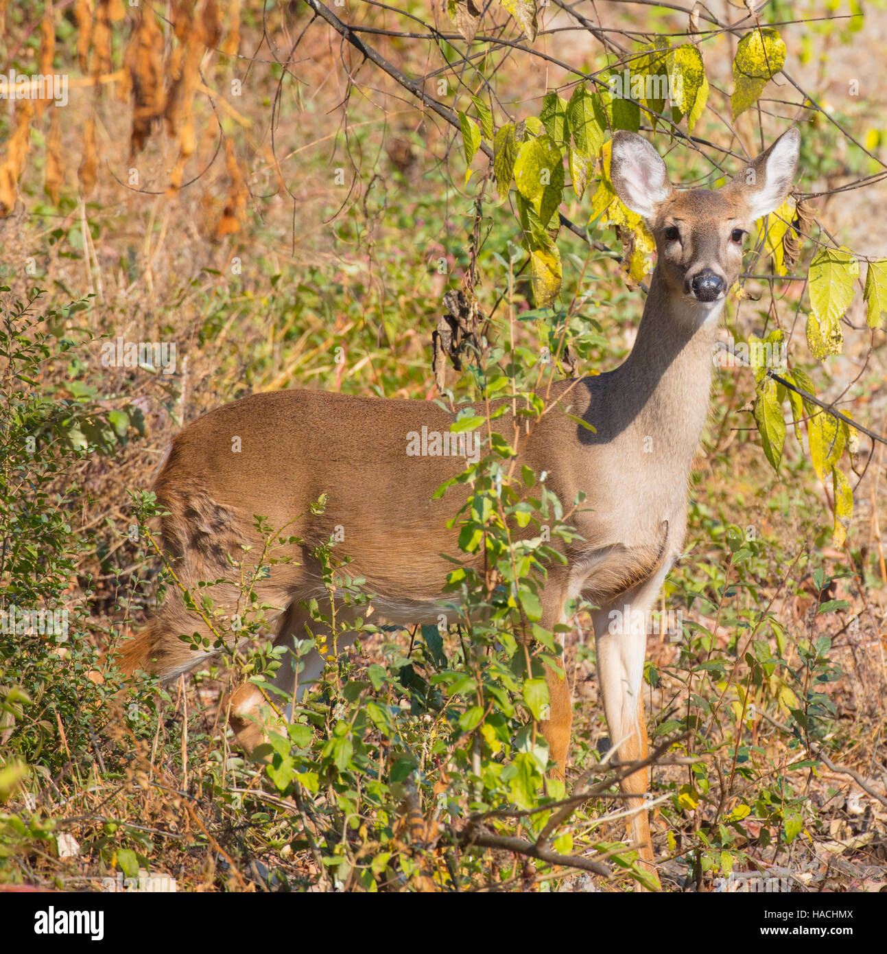 Female White-tailed Deer (Odocoileus virginianus)  in a wildlife management area - Stock Image