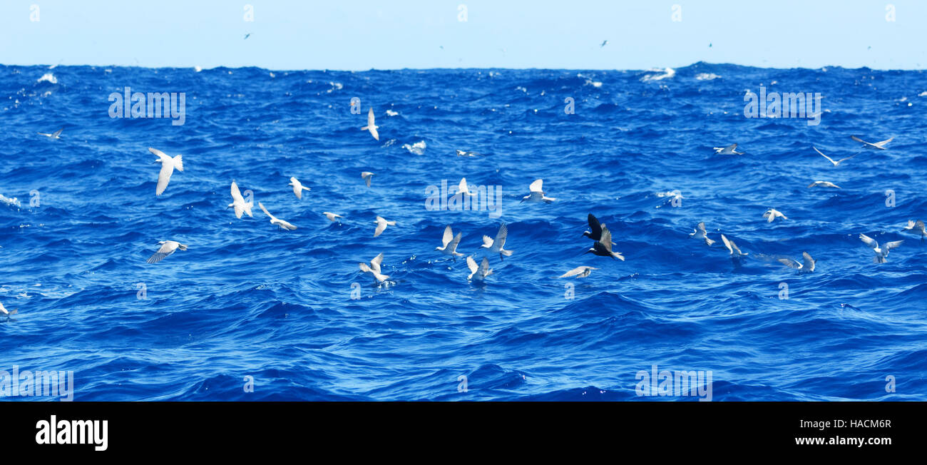 Seabirds fishing near Ball's Pyramid, 20km from Lord Howe Island, New South Wales, NSW, Australia Stock Photo
