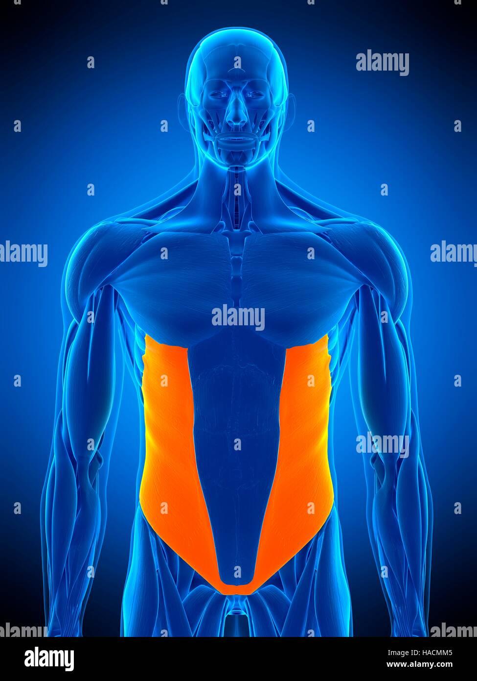 Oblique Muscle Stock Photos Oblique Muscle Stock Images Alamy
