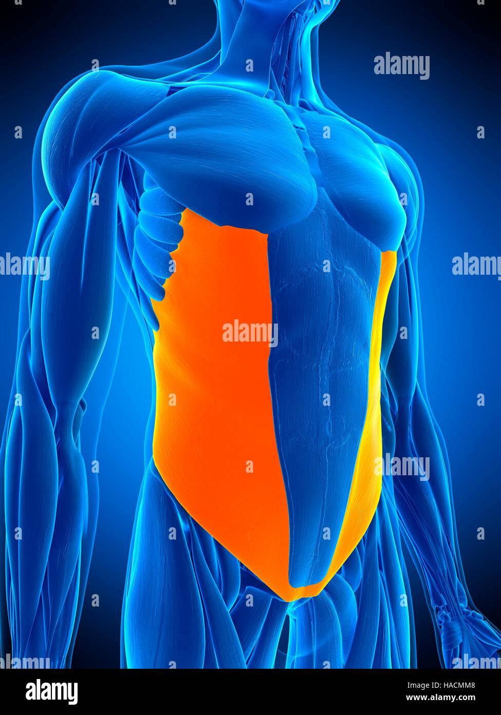 Illustration Of The External Oblique Muscle Stock Photo 126898808