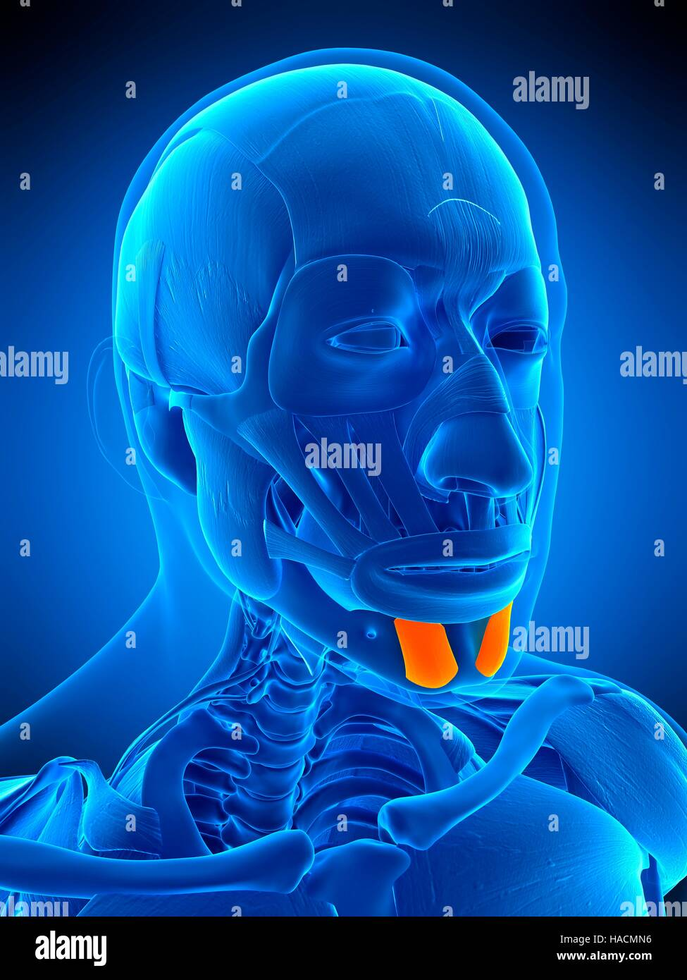 illustration of the mentalis muscle stock photo 126898834 alamy