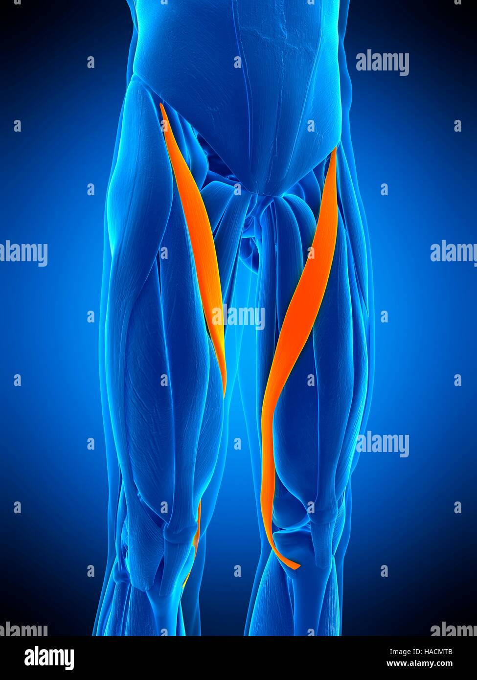 Illustration Of The Satorius Muscle Stock Photo 126898923 Alamy