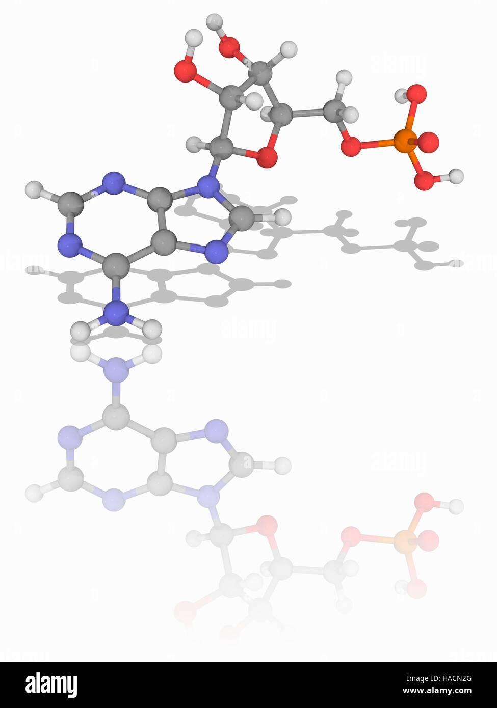 Adenosine monophosphate. Molecular model of the nucleic acid subunit adenosine monophosphate (AMP, C10.H14.N5.O7.P). Stock Photo