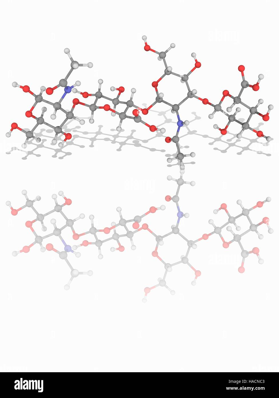 Hyaluronic acid. Molecular model of two units of the glycosaminoglycan polymer hyaluronic acid (C14.H21.N.O11), - Stock Image