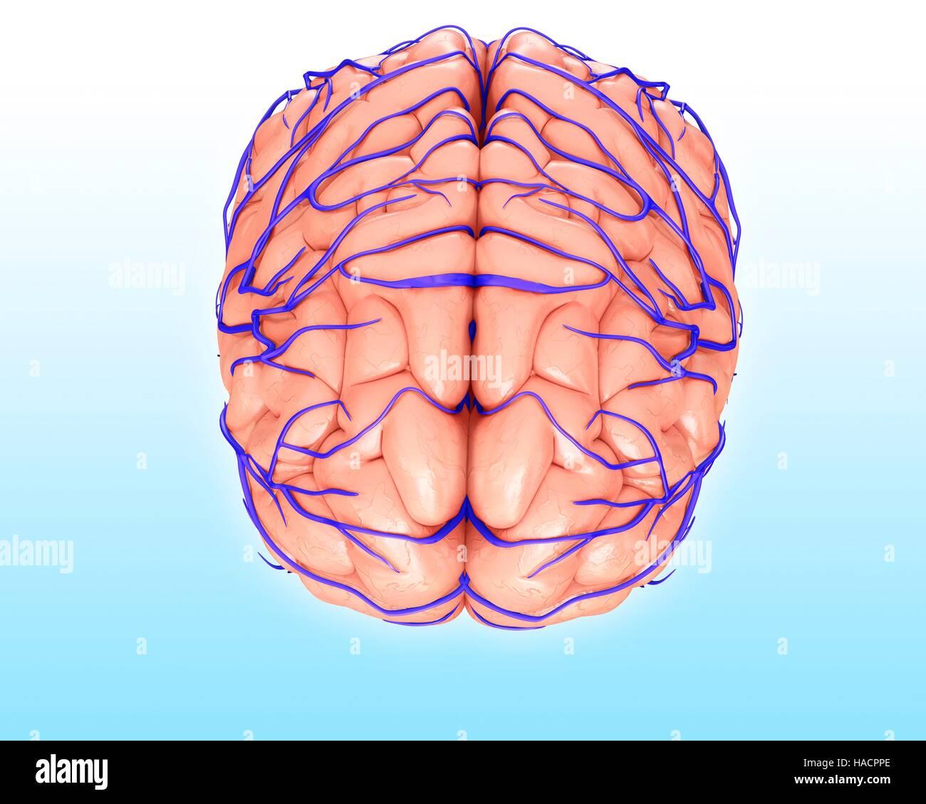 Brain Veins And Anatomy Stock Photos & Brain Veins And Anatomy Stock ...