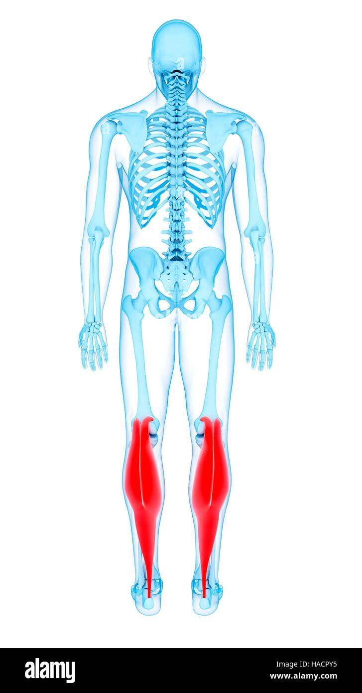 Illustration of the gastrocnemius medial head muscles Stock Photo ...