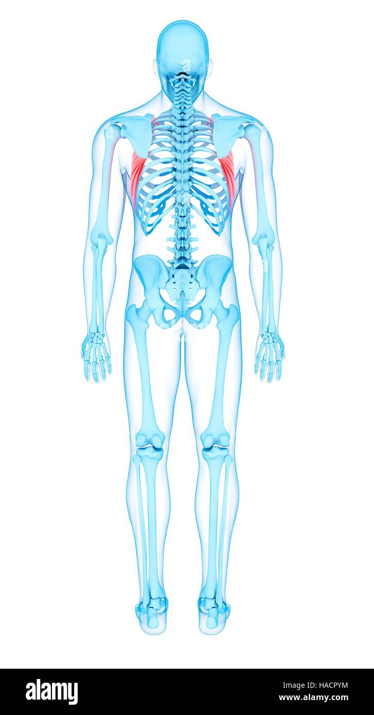 Serratus Anterior Muscle Stock Photos Serratus Anterior Muscle