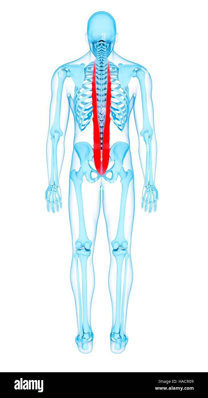 Illustration Of The Longissimus Thoracic Muscles Stock Photo