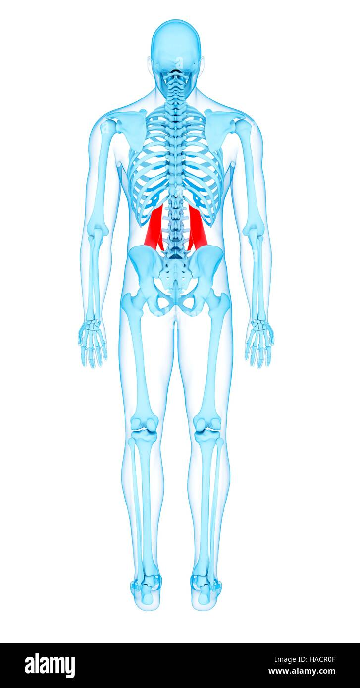Illustration of the quadratus lumborum muscles Stock Photo ...