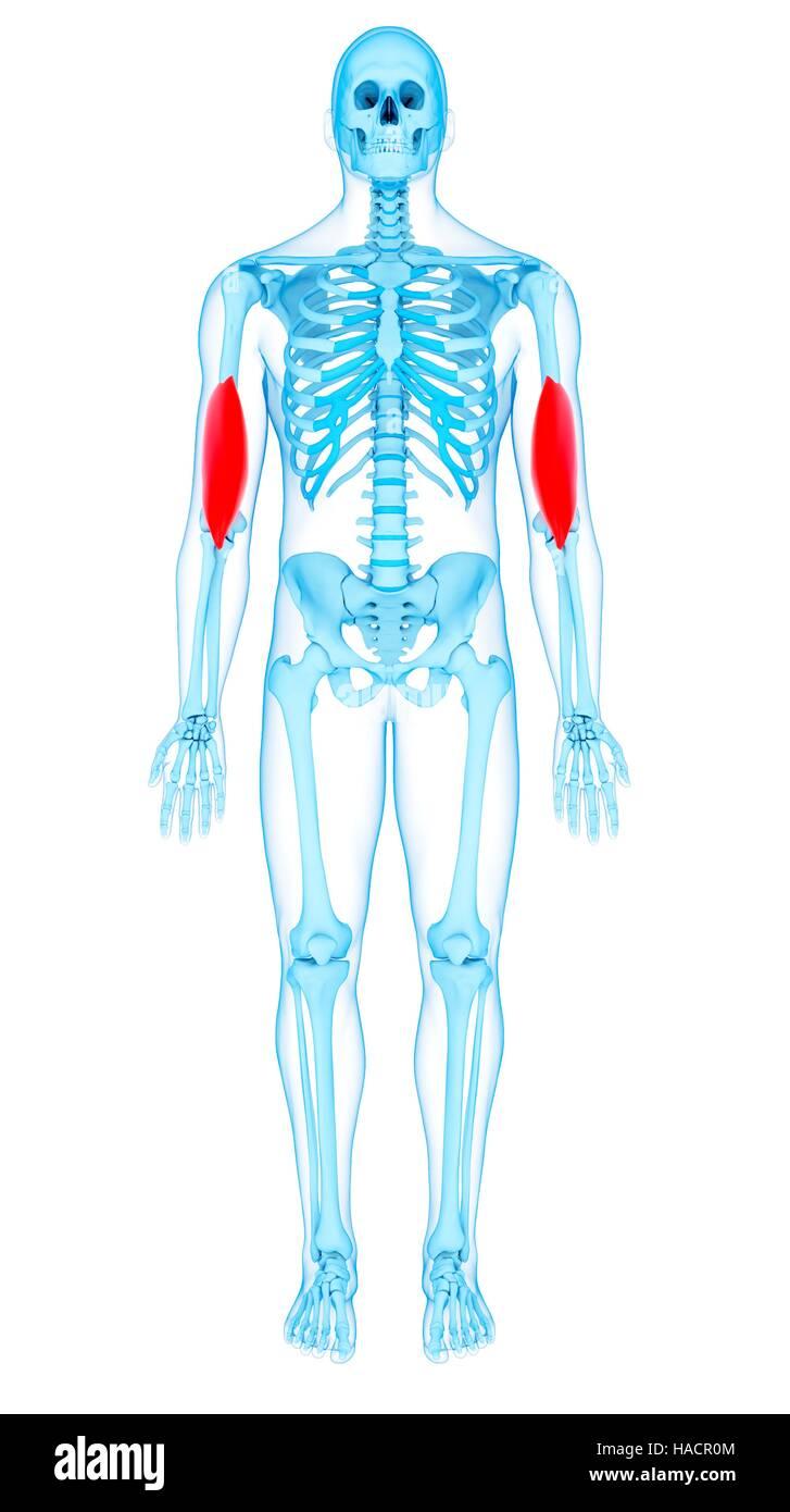 Brachialis Muscle Stock Photos & Brachialis Muscle Stock Images - Alamy