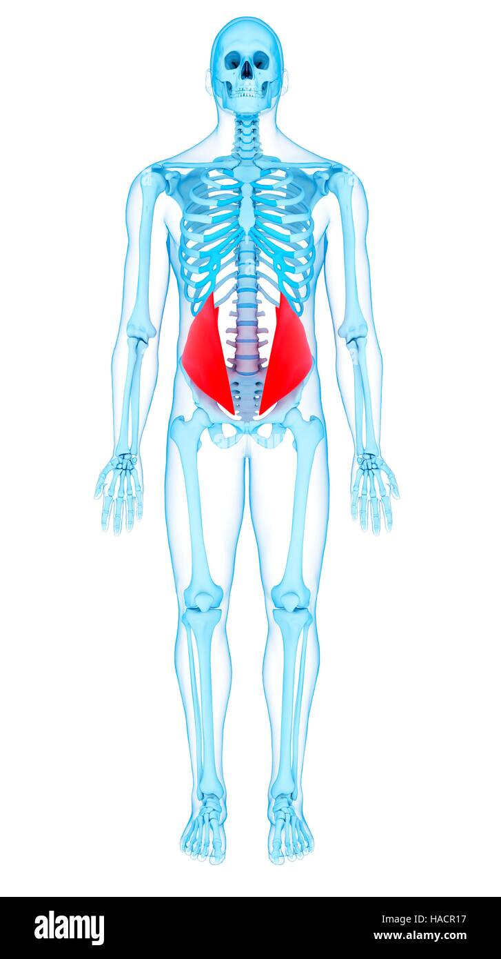 Illustration of the internal oblique muscles. - Stock Image