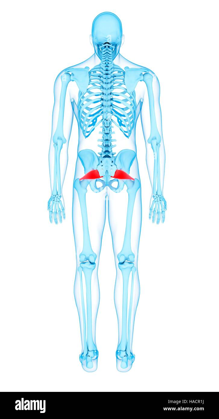 Illustration of the piriformis muscles Stock Photo: 126900638 - Alamy