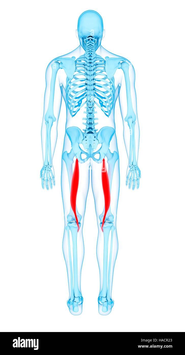 Illustration of the semitendinosus muscles Stock Photo: 126900651 ...