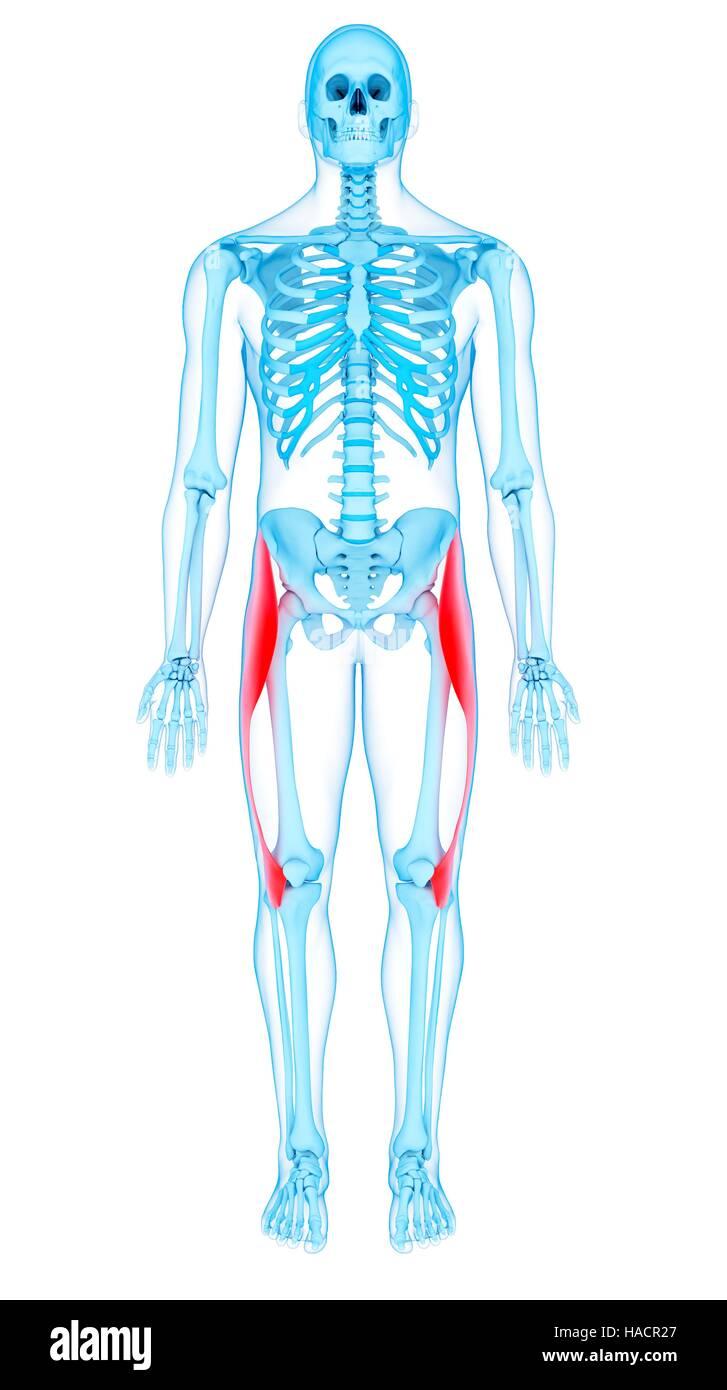 Illustration of the tensor fascia lata muscles Stock Photo ...