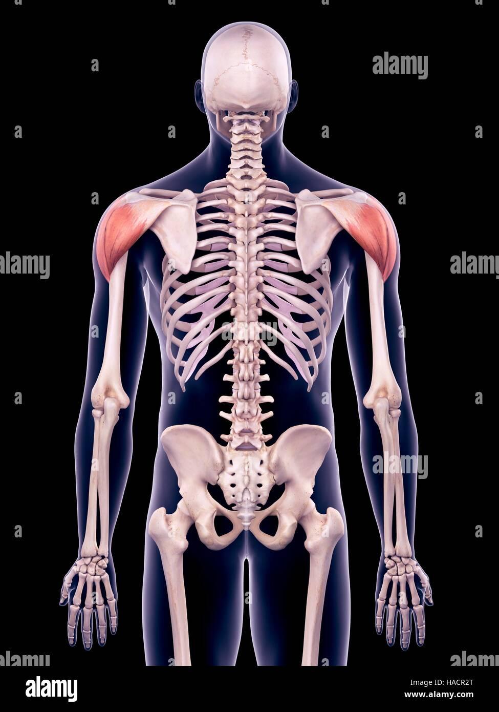 Human Deltoid Muscles Illustration Stock Photos Human Deltoid