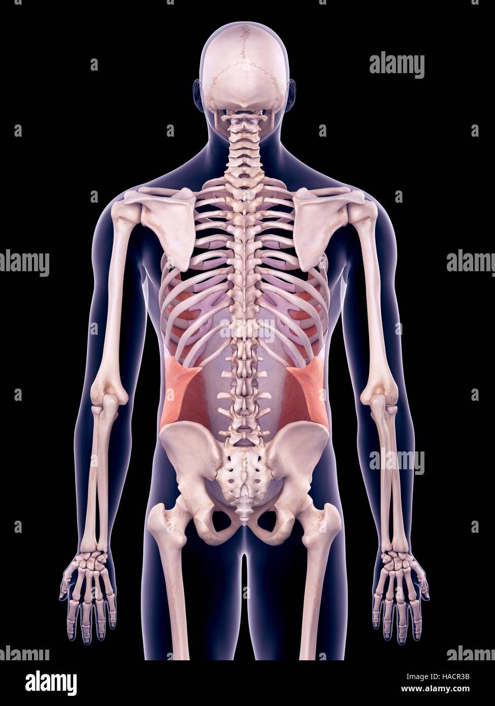 External Abdominal Oblique Stock Photos External Abdominal Oblique