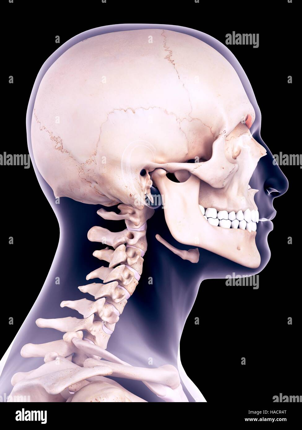 Medical accurate illustration of the corrugator supercilii muscle. - Stock Image