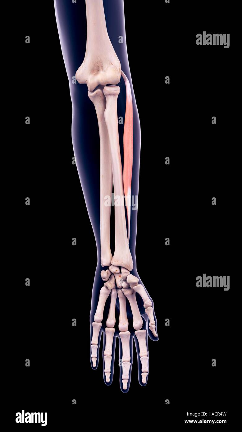 illustration of the extensor carpi radialis brevis muscle stock