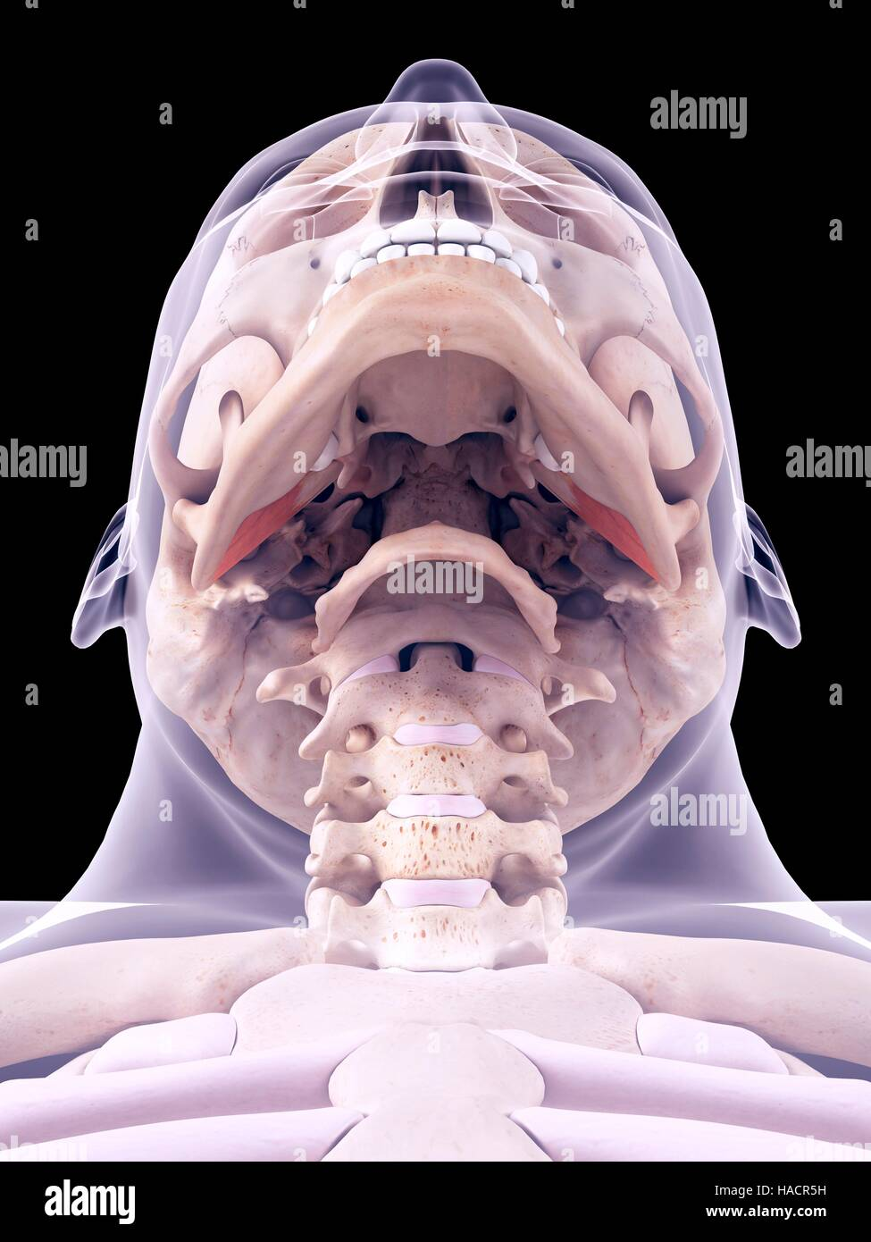 Medical accurate illustration of the external pterygoideus muscles. - Stock Image