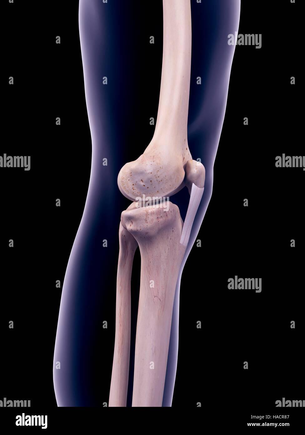 Medial Patellar Ligament Stock Photos Medial Patellar Ligament
