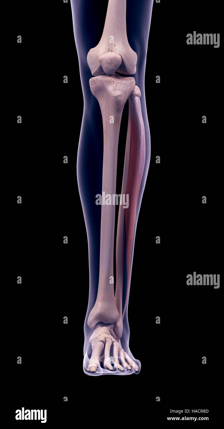 Illustration of the peroneus longus muscle Stock Photo: 126900829 ...