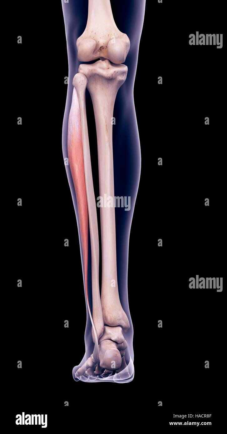 Illustration Of The Peroneus Longus Muscle Stock Photo 126900831