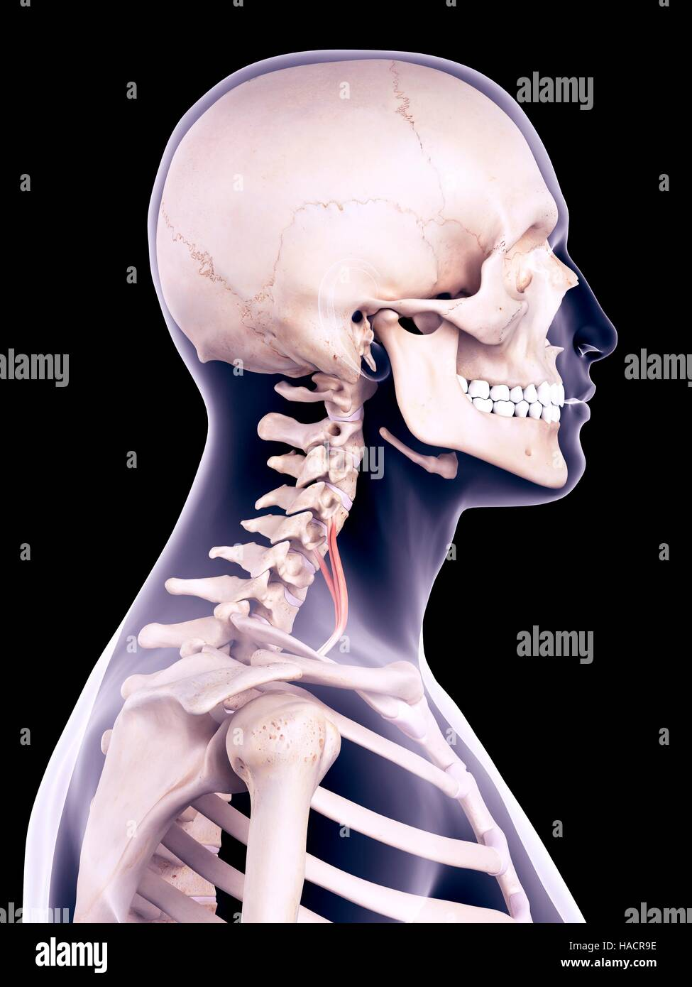 Illustration of the scalene anterior muscle. - Stock Image