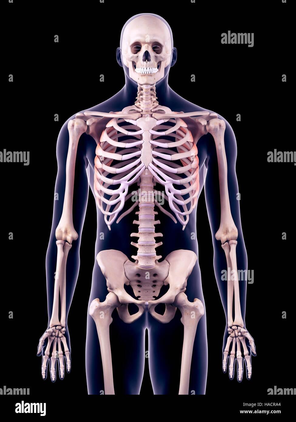Illustration of the serratus anterior muscles. - Stock Image