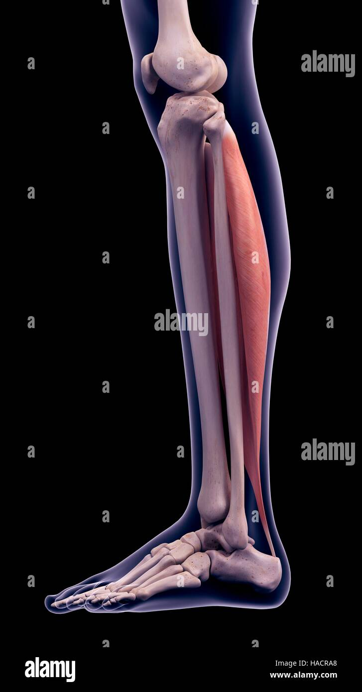 Foot Ankle Bones Anatomy Male Stock Photos Foot Ankle Bones
