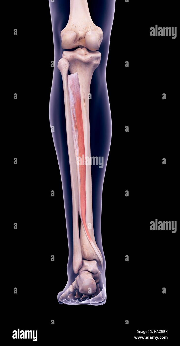 Illustration of the tibialis posterior muscle Stock Photo: 126900919 ...