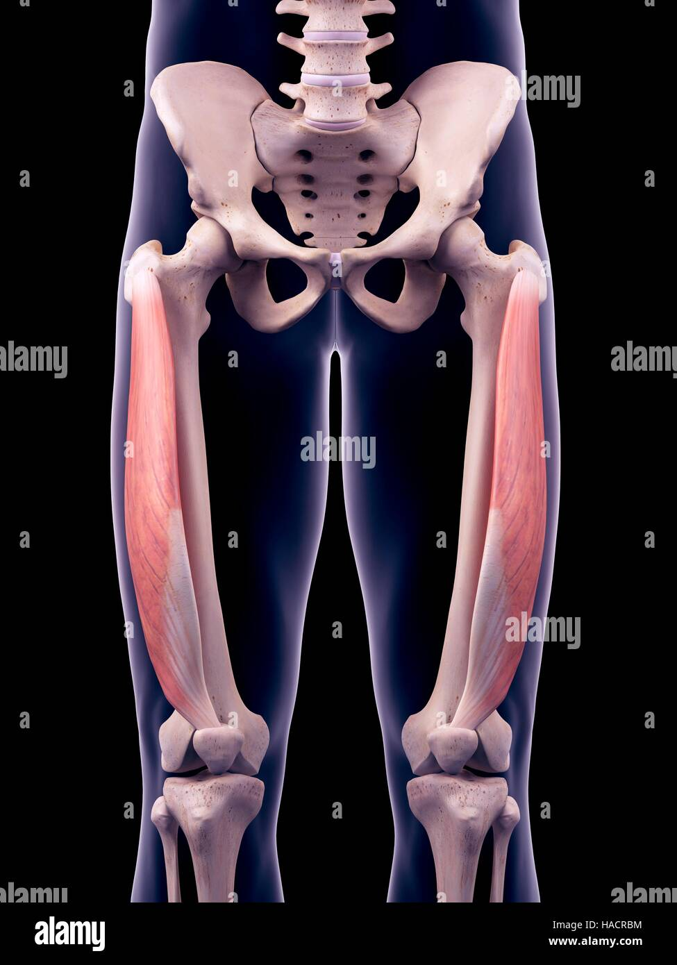 Illustration of the vastus lateralis muscles. - Stock Image