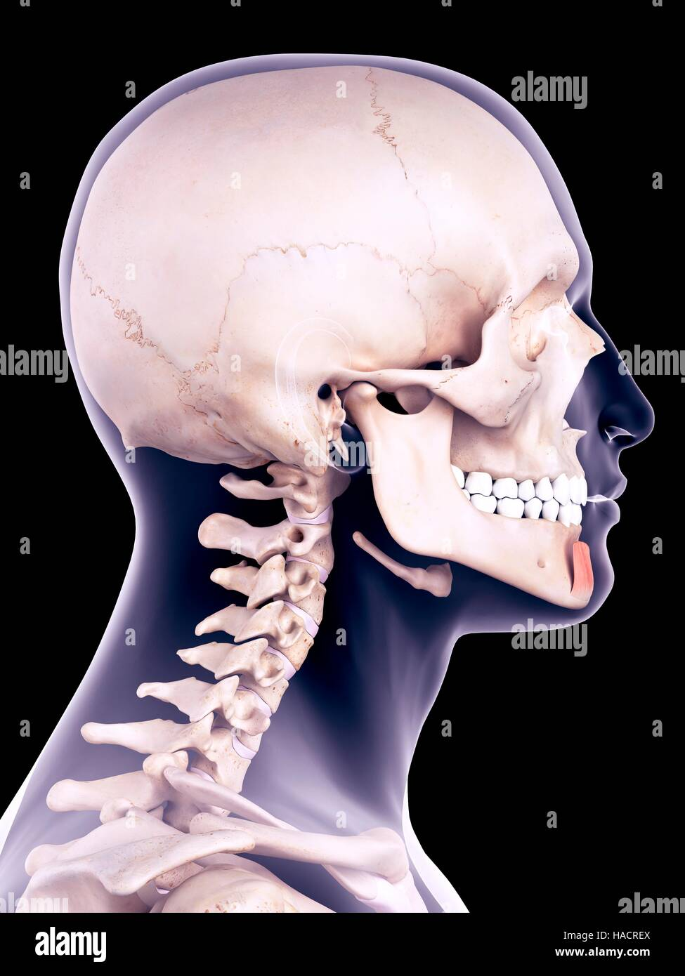 illustration of the mentalis muscle stock photo 126901010 alamy