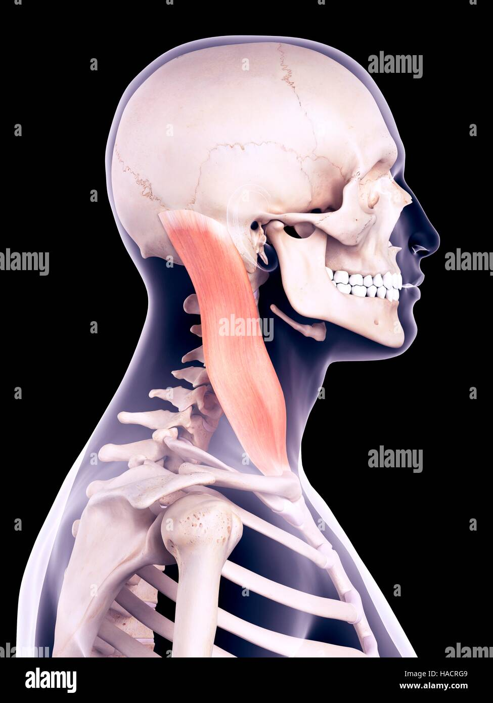 Illustration of the sternocleidomastoid muscle Stock Photo ...