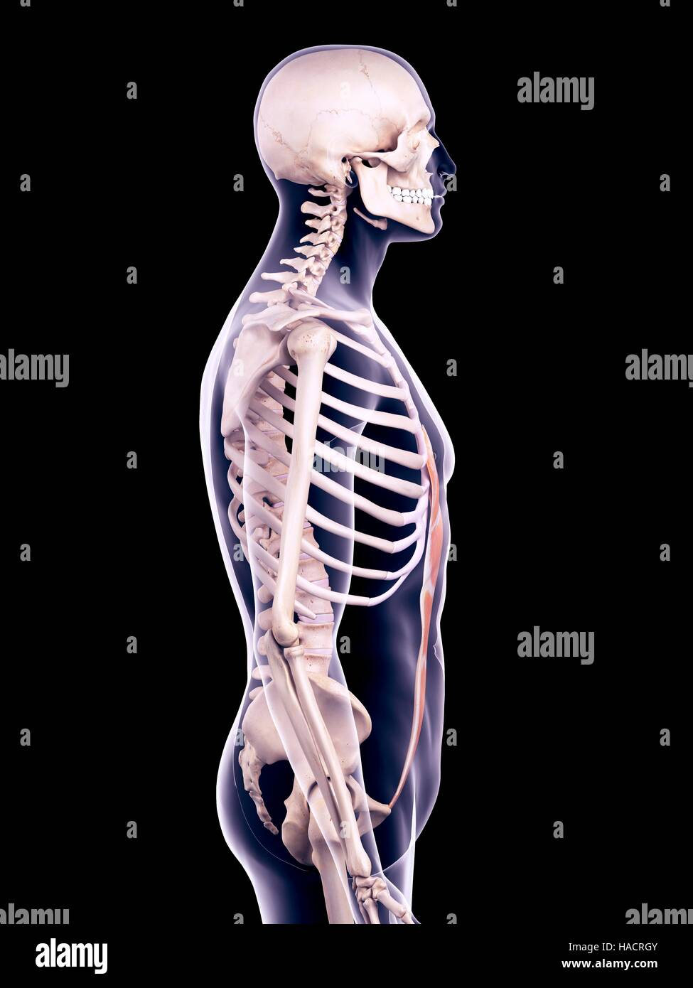 Lateral Rectus Muscle Stock Photos & Lateral Rectus Muscle Stock ...